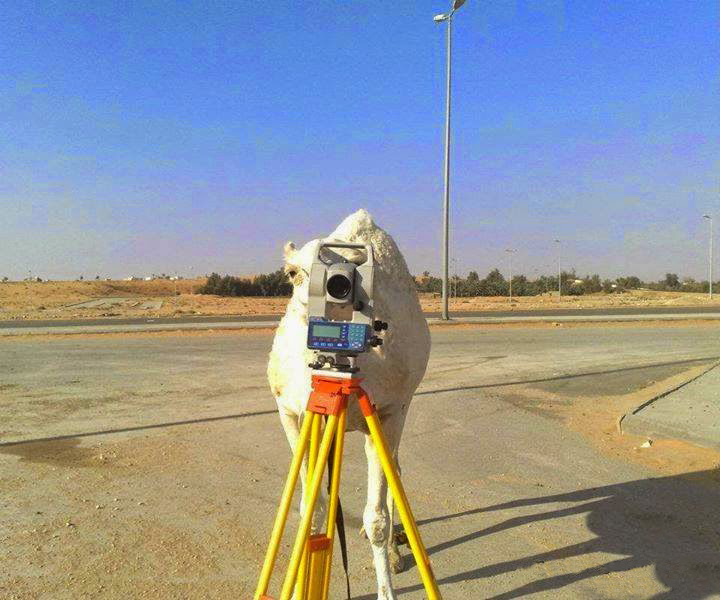 Camel doing survey
